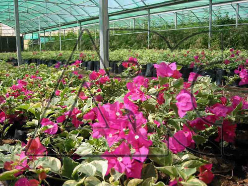 Bougainvillea glabra Raspberry Ice